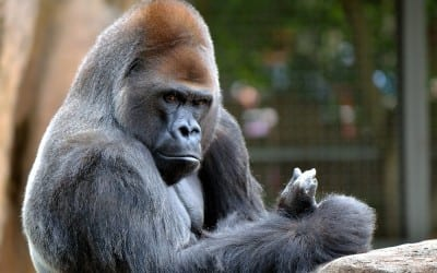 CLASS ACTION WAIVERS:  THE GORILLA IS LOOSE.